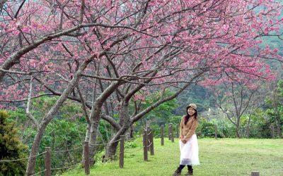 【我们旅行中】冬季到冲绳自驾游赏樱