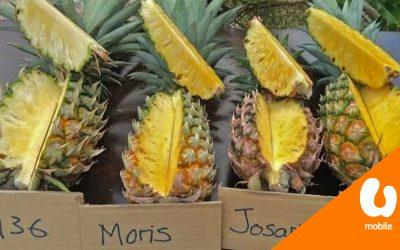 【下班吃什么】香甜好滋味,黄梨原来不需要农药?
