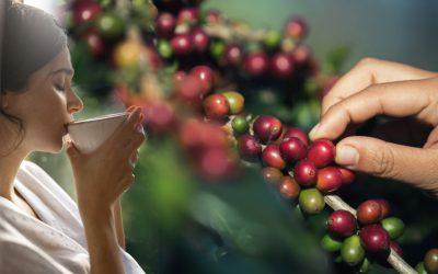 【创业168】Reka Jaya Plantation让人惊艳的Liberica豆☕️!